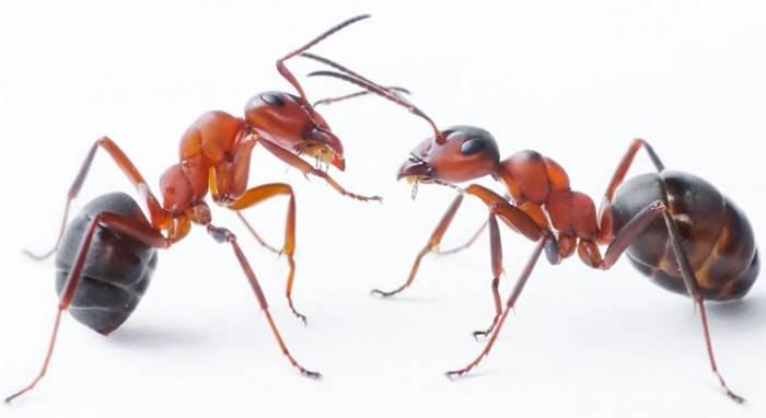 Почему появляются муравьи в доме