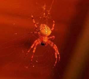 Маленький красный паук