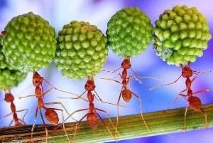 Красные муравьи в квартире