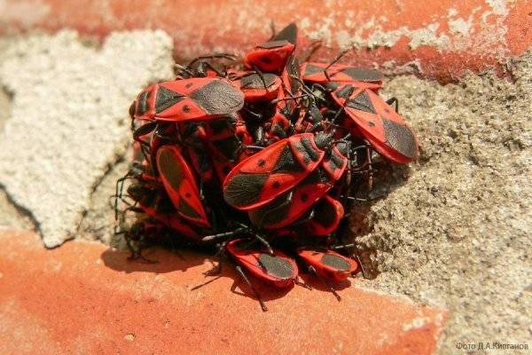Красные жуки с черными точками