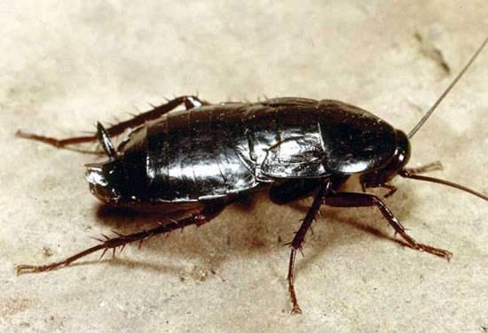 Есть ли у тараканов мозг