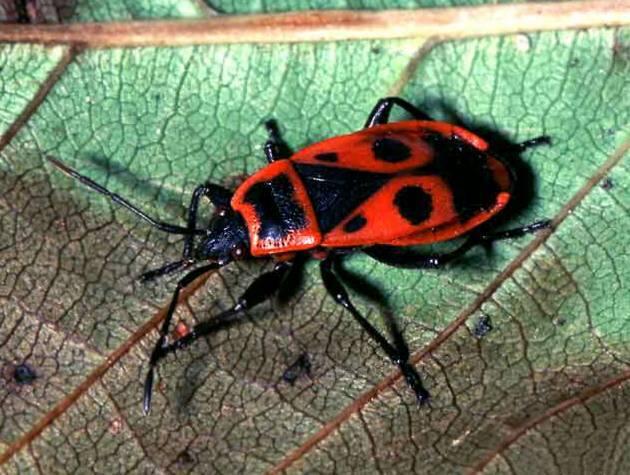 Жук красный с черными пятнами