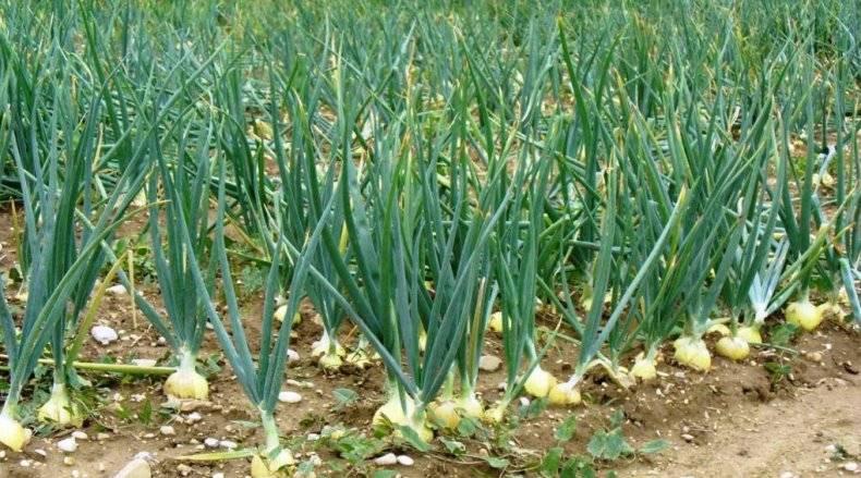 Чем обрабатывать лук от луковой мухи