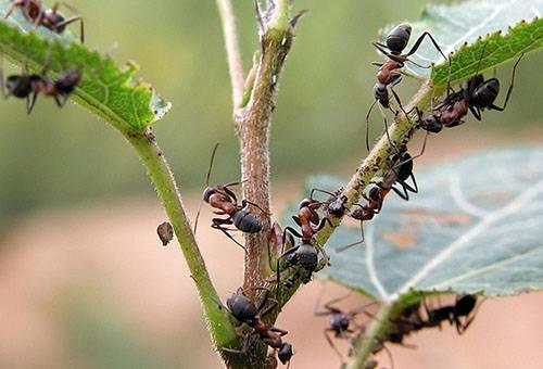 Дихлофос от муравьев в квартире
