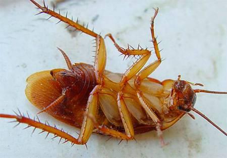 Как вывести тараканов с помощью борной кислоты