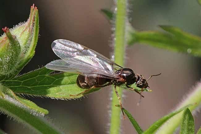 Летучие муравьи как избавиться