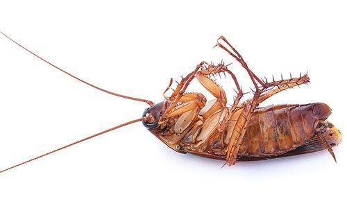 Дихлофос против тараканов