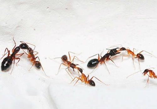 От чего заводятся муравьи в квартире