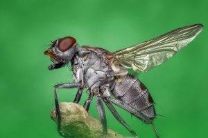 сколько живет муха обыкновенная