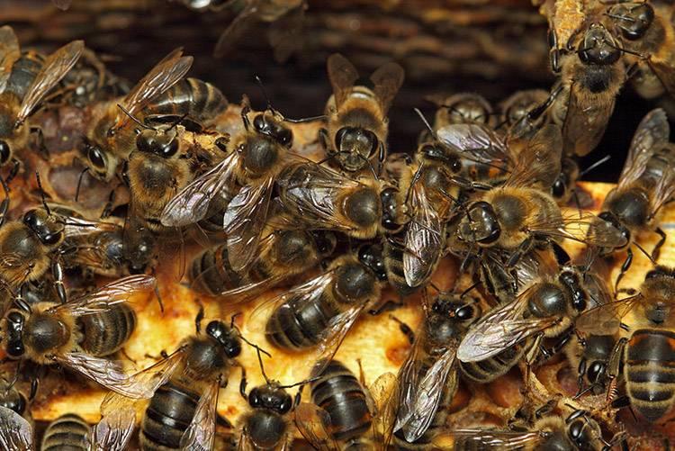 Пчелы исчезают