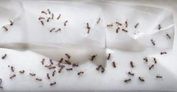 Борная кислота от муравьев в квартире