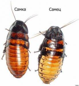 Сколько живут мадагаскарские тараканы