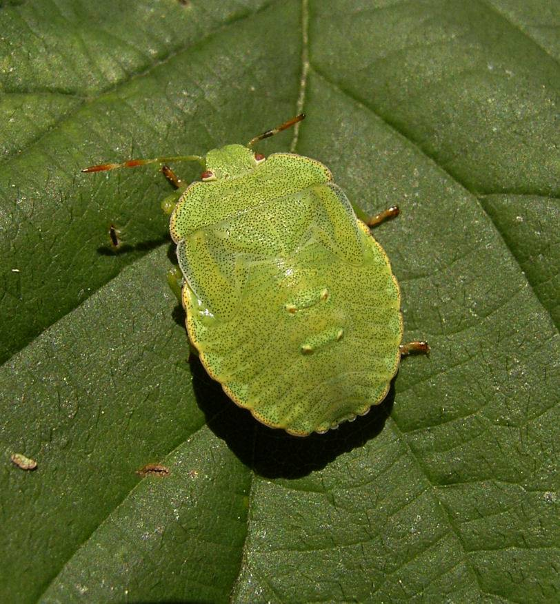 Щитник зеленый