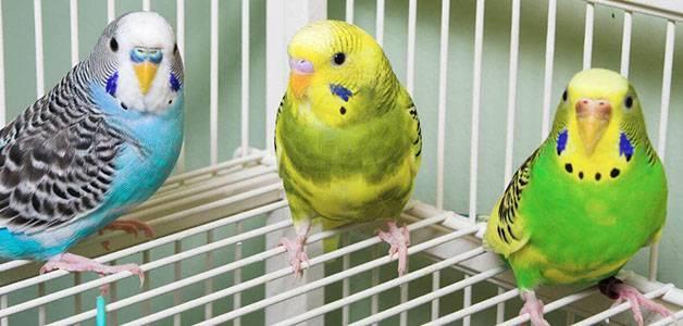 Клещ у попугая лечение в домашних условиях
