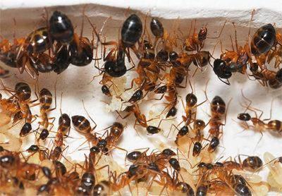 Как действует борная кислота на муравьев