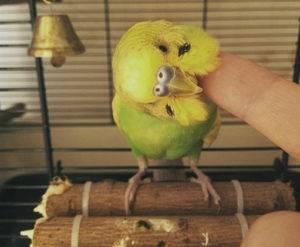 Если попугай чешется