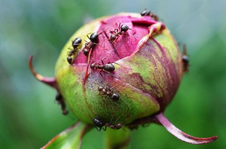 Рыжие муравьи в саду польза или вред