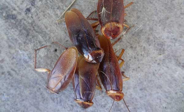 Как рождаются тараканы