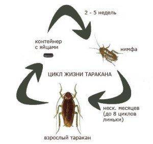 Беременный таракан