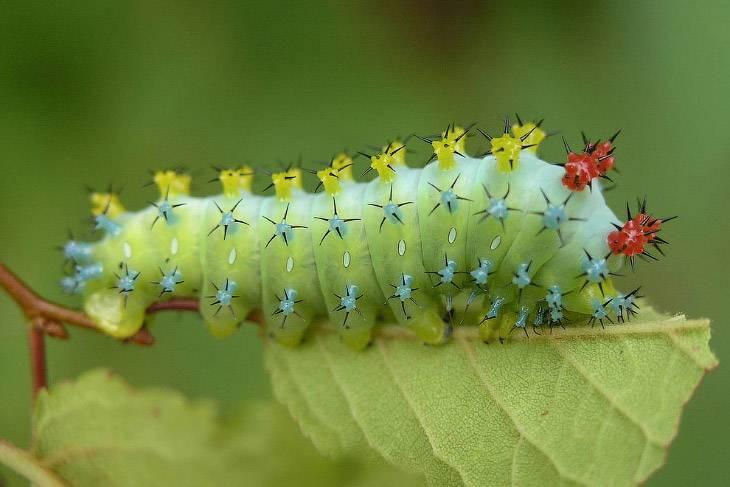 Личинки бабочек