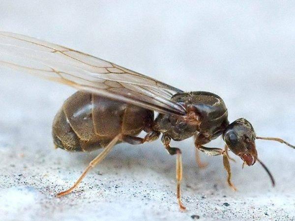 Летучие муравьи