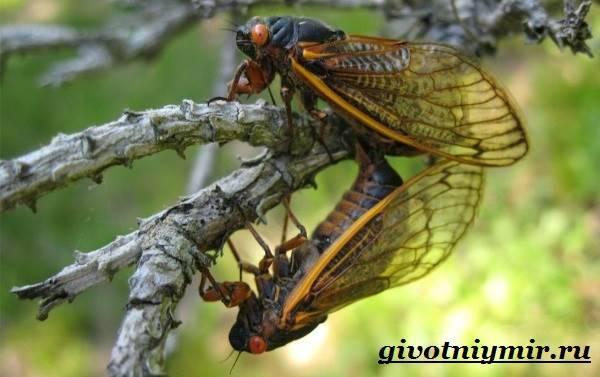Где обитают цикады