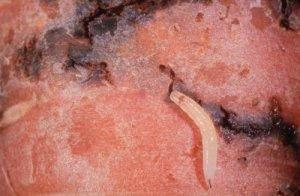 Морковная муха как с ней бороться