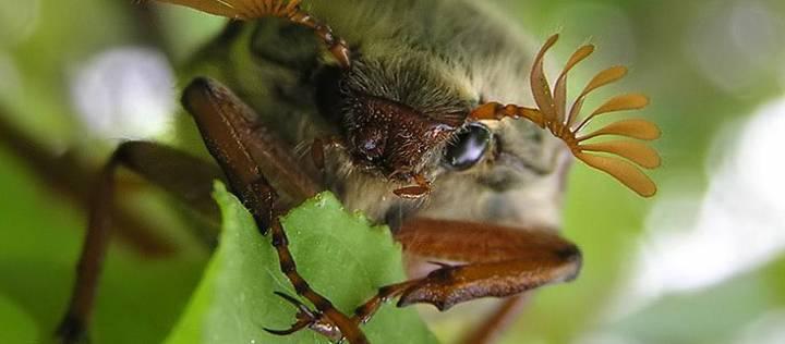 Кусаются ли майские жуки