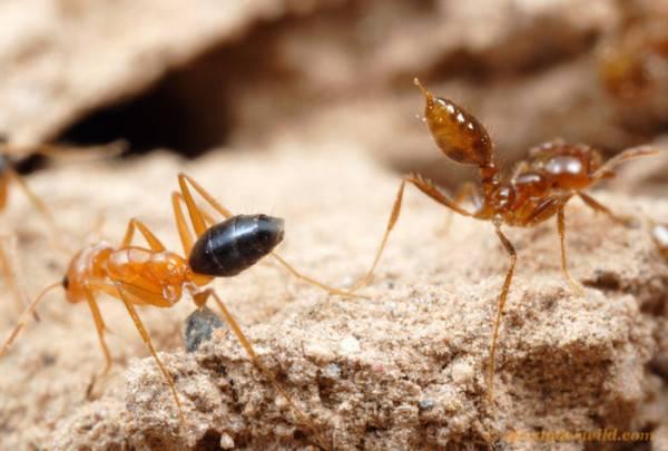 Почему появляются муравьи в квартире