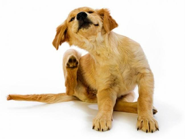 Чем обработать щенка от блох