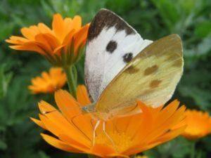 Капустная бабочка