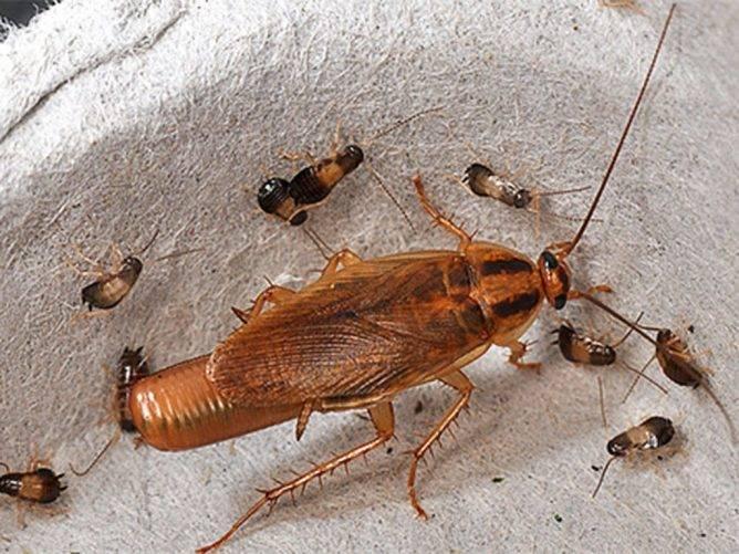 Как спариваются тараканы
