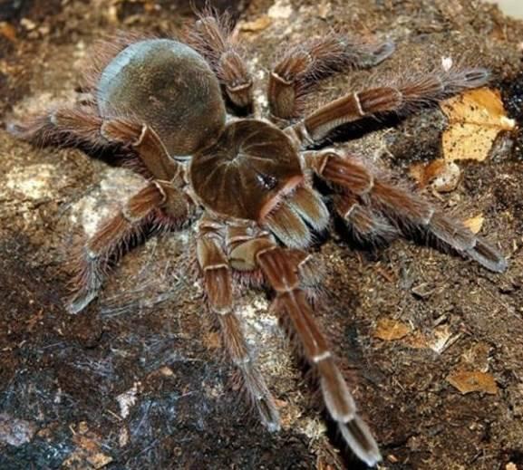 Какой самый большой паук