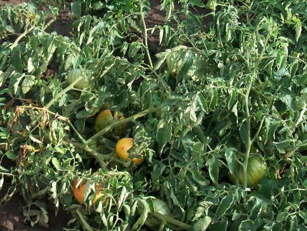 Черные мошки на помидорах как бороться