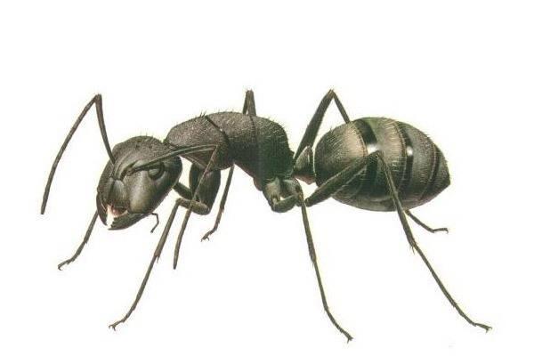 Как избавиться от мелких муравьев