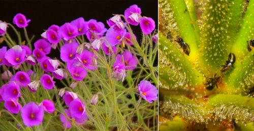 Растение которое ест насекомых