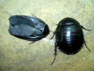 Виды тараканов домашних