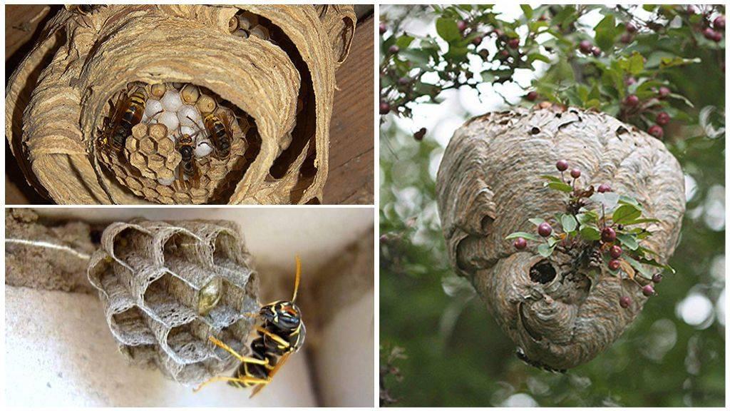 Как выглядит осиное гнездо