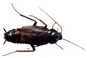 Сколько живет таракан без головы