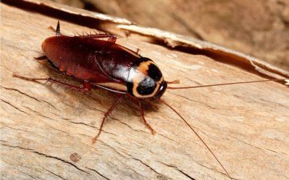 Виды тараканов в квартире