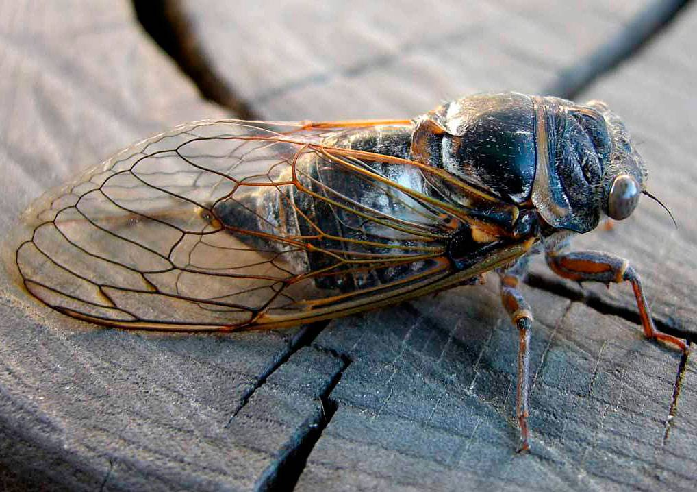 Когда поют цикады