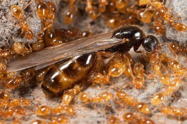 Как выглядит матка муравьев