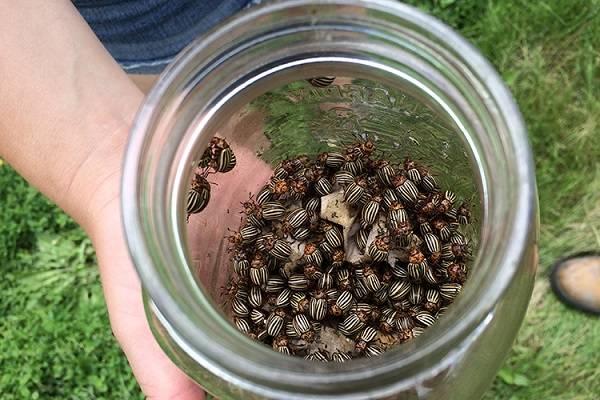 Когда травить колорадского жука