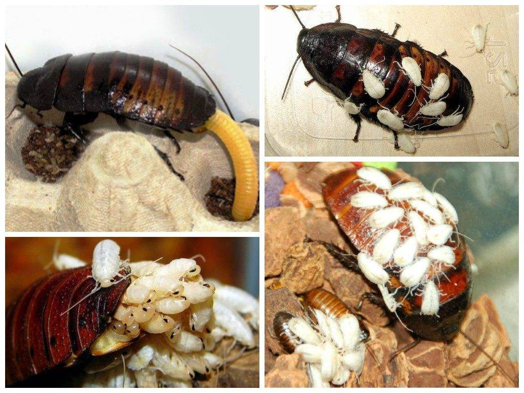 Самка таракана