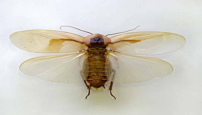 Летающий таракан