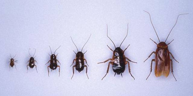Сколько живет рыжий таракан