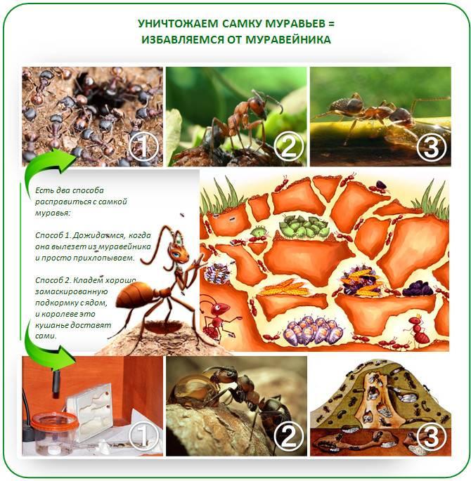 Как избавиться от муравьев в парнике