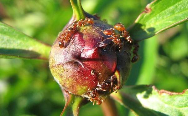 Срок жизни муравья