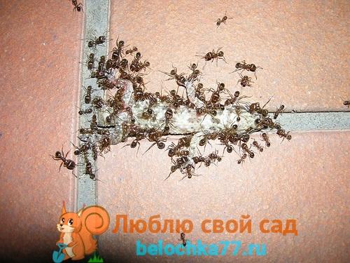 Квартирные муравьи как избавиться