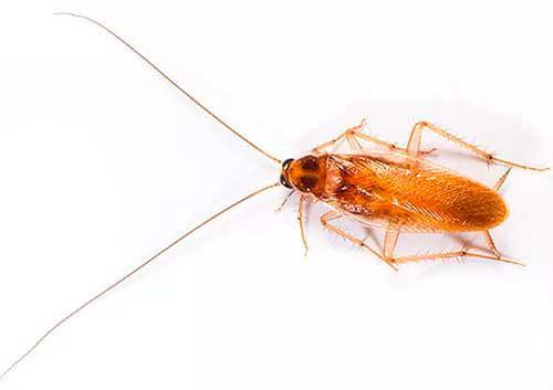 Тараканы насекомые